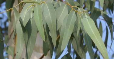 eucalyptus-150-p