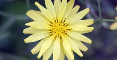 Ixeris Chinensis